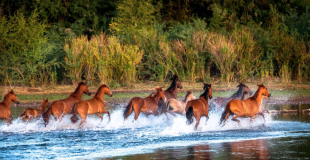 Horses run in river
