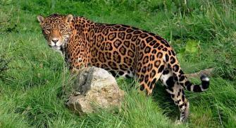 arizona-jaguar-versus-copper-mine-L-VIv2c7