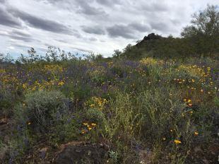 Desert blooming 1